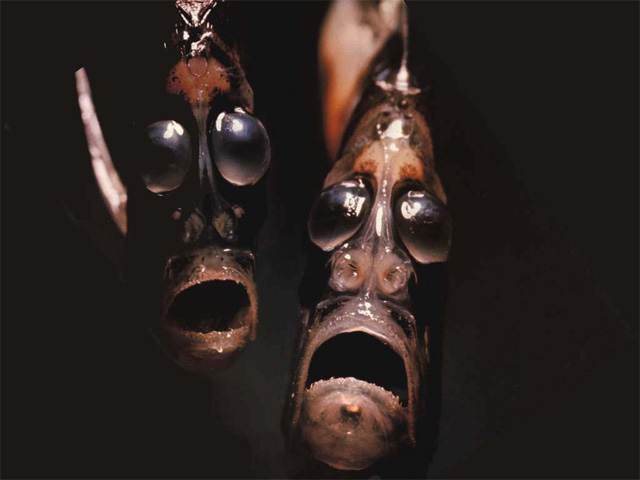 Hatchetfish.jpg