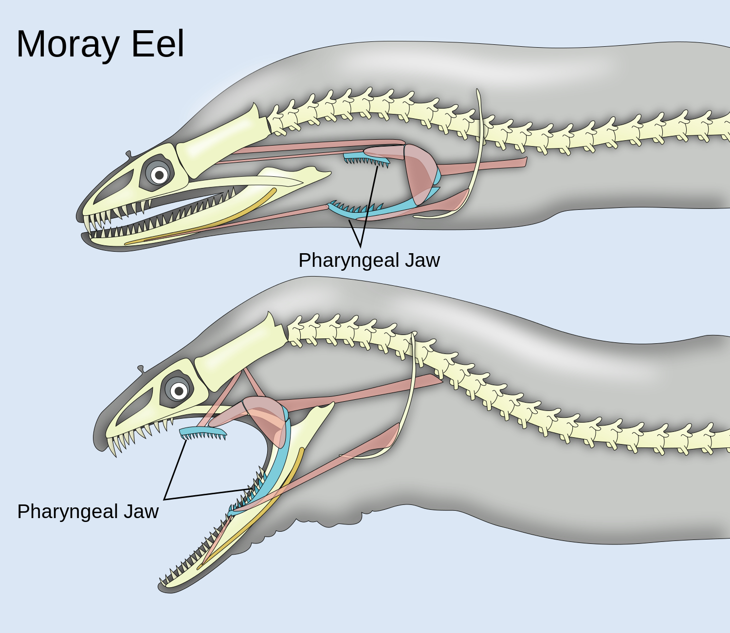 Pharyngeal jaws of moray eels.jpg