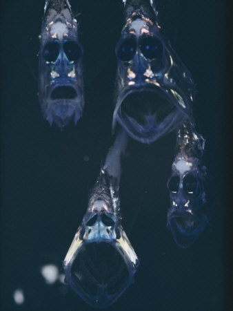 Hatchetfish 2.jpg